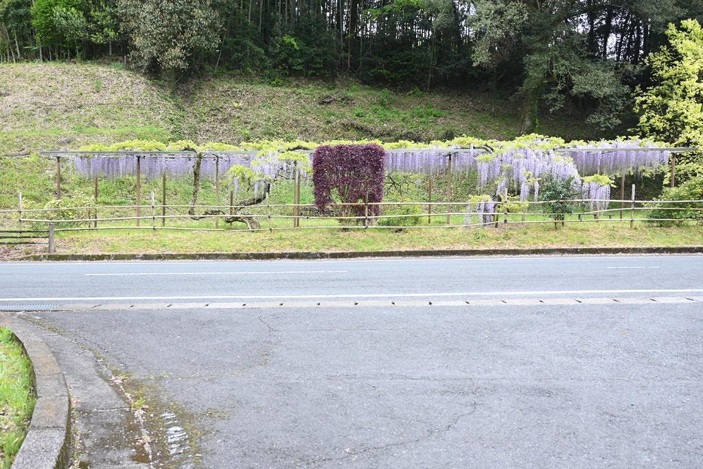 山鹿 鹿央古代の森 藤の花