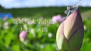 【益城町大字小池】蓮と田園景色が両方楽しめる!飯田山麓に咲く蓮2021