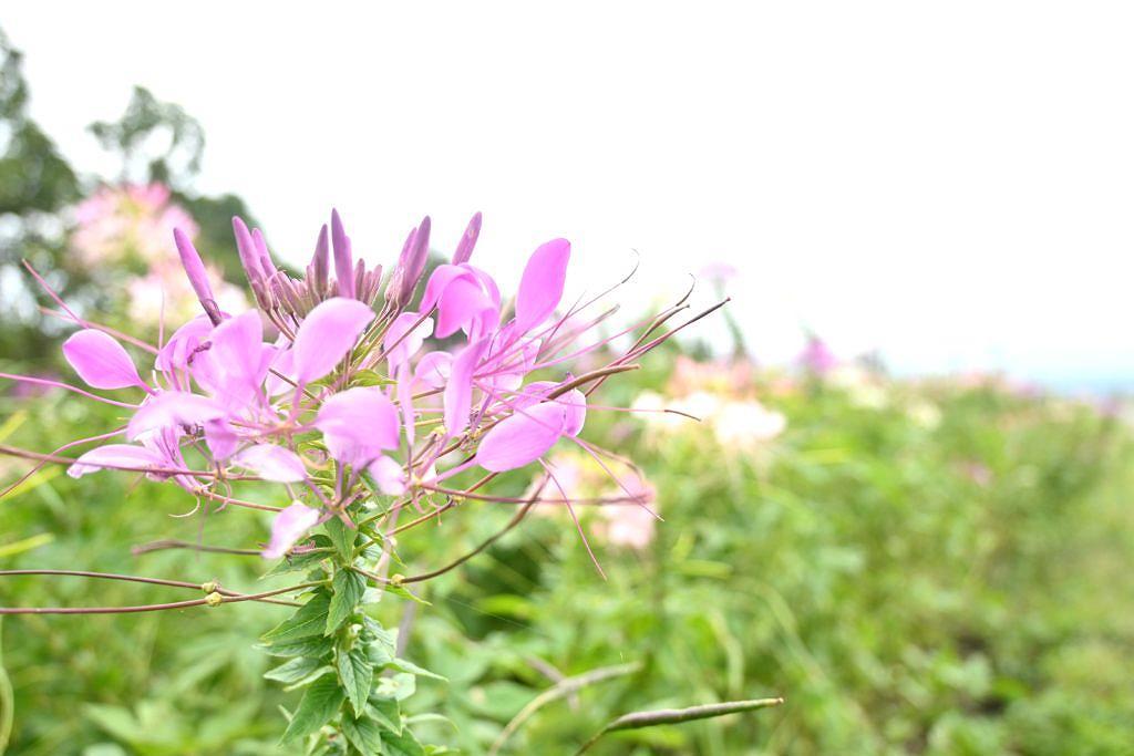 【産山村大字田尻】秋はコスモスが一面に咲き広がる!ヒゴタイ公園さん