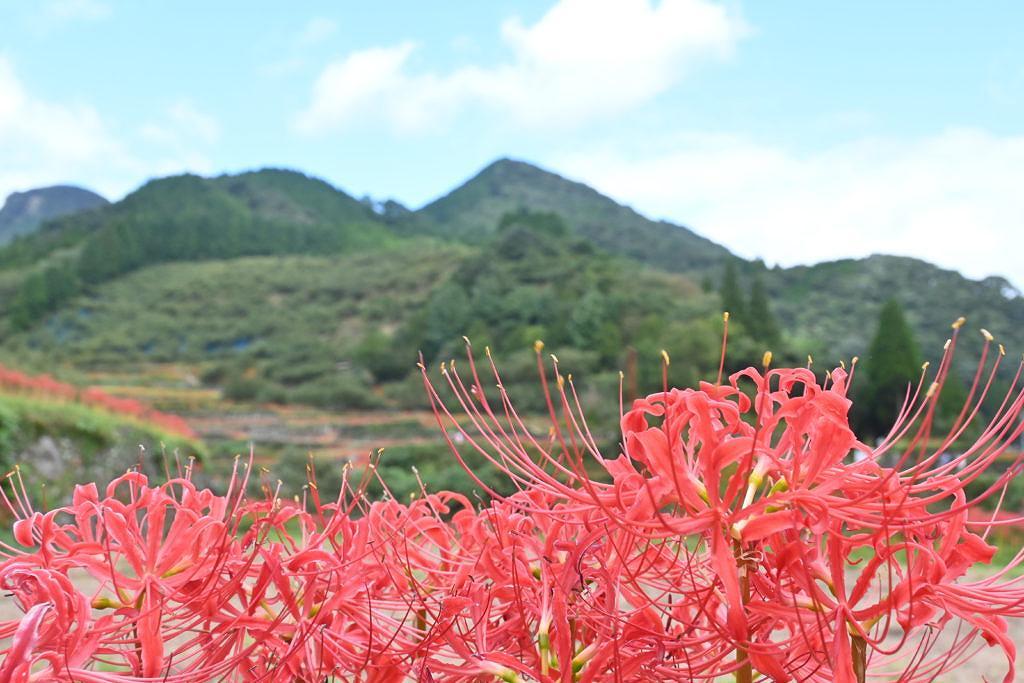 【山鹿市菊鹿町】9月中旬から見頃を迎える!番所棚田の彼岸花