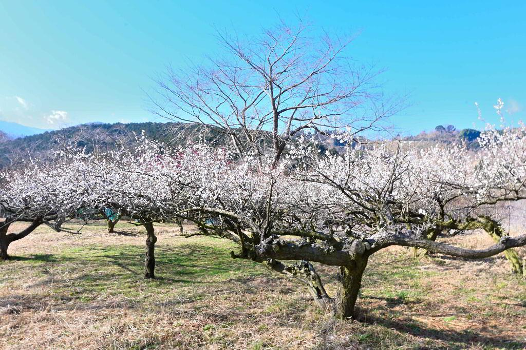【人吉市大野町】上品な花が満開!人吉梅園