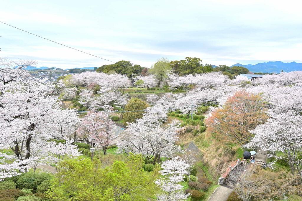 【菊池市隈府】視界いっぱいに広がる桜!菊池公園