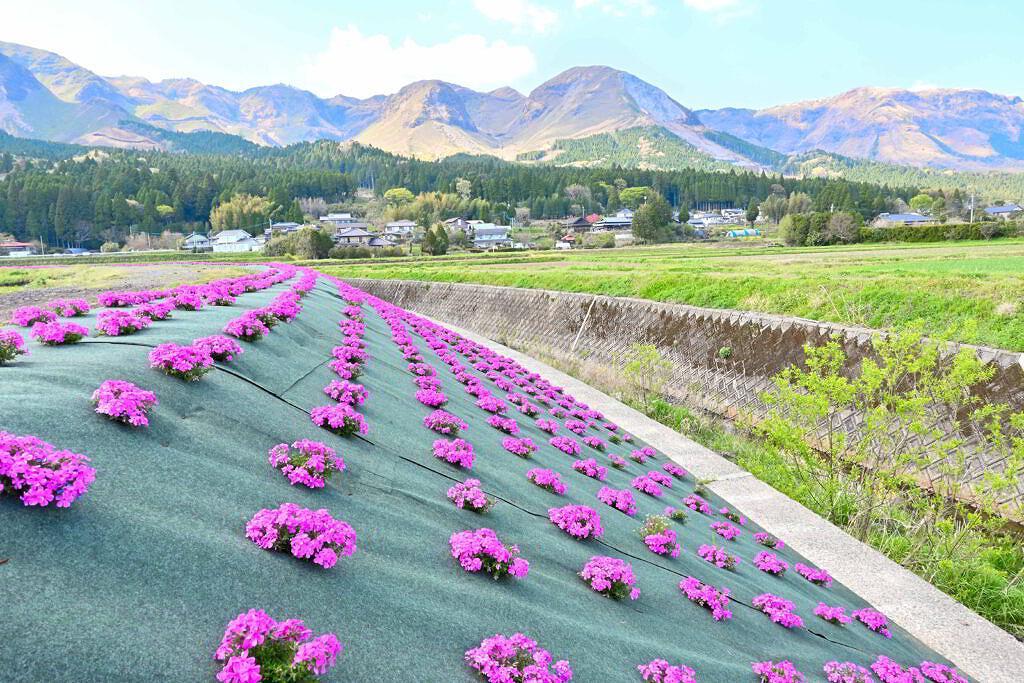 【阿蘇市】今がまさに見頃!土手沿いに咲く狩尾と永草の芝桜