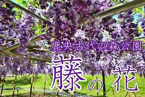 【山鹿市鹿央町】7月はハス・睡蓮・ひまわりが楽しめる!鹿央古代の森公園