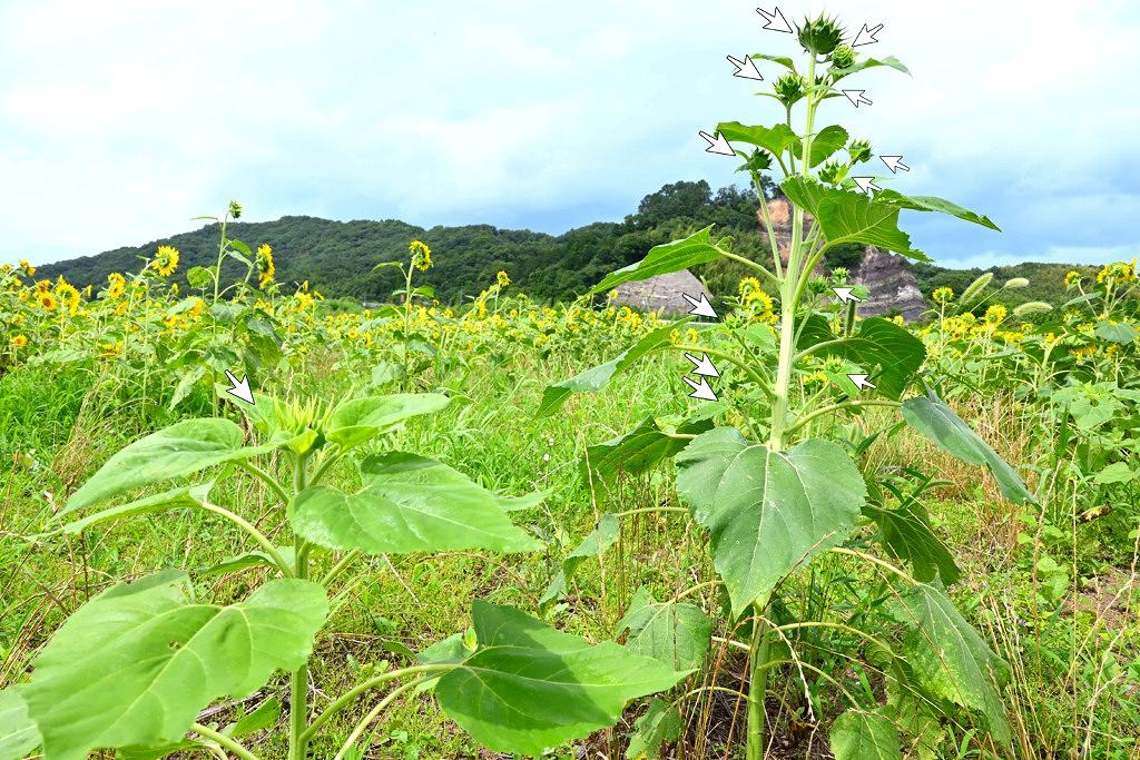甲佐町 津志田河川自然公園 ひまわり