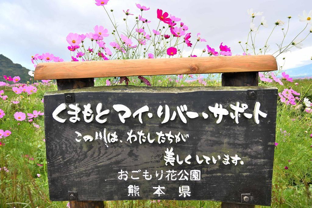 おごもり花公園 阿蘇市 コスモス